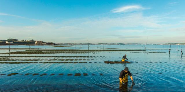 récolte des huîtres