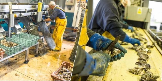 mise en sac et ouverture des huîtres
